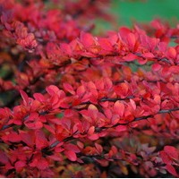 BERBERIS Green Carpet