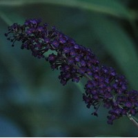BUDDLEIA Davidii Black night