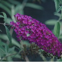 BUDDLEIA davidii Naho purple