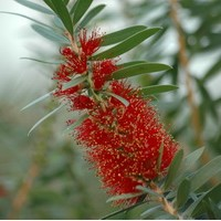 CALLISTEMON citrinus Rose opal