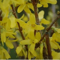 FORSYTHIA internedia Lynwood gold