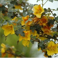 FREMONTODENDRON californica glory