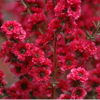 LEPTOSPERNUM scoparium Red Damask