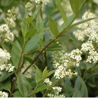 LIGUSTRUM atrovirens select