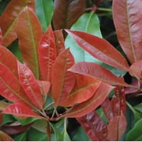 PHOTINIA robusta compacta
