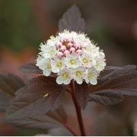 PHYSOCARPUS diable d